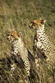 Cheetah and Cub Looking Sideway, Tanzania, Africa