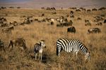 Zebra and Wildebeest in Serengeti National Park, Tanzania, Africa
