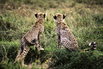 Cheetah Cubs Watching Animals, Tanzania, Africa