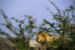 Lion In Bushes Hunting, Serengeti National Park, Tanzania, Africa
