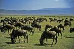 Wildebeest Grazing, Serengeti National Park, Tanzania, Africa