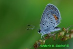 Eastern-tailed blue butterfly covered with dew (DBU181)
