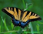 Eastern tiger swallowtail butterfly, female (BU698)