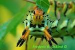 Hickory Horned Devil caterpillar (CP155)
