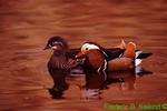 Mandarin ducks (GD139a)