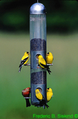 SB672. American goldfinches and housefinch at thistle feeder.