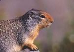 Columbian ground squirrel (MM415)