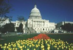 Capitol and tulips (DC49)