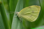 Cabbage white (DBU1531)