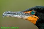 Double-crested cormorant head and beak (DCO1)