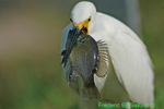 Snowy egret with large fish (DEG2)