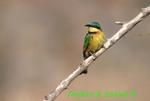 Little bee-eater (AB378)