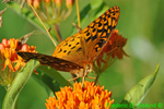 Great spangled fritillary nectoring on butterfly weed (DBU63)
