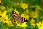 Painted lady in field of tickseed sunflowers (DBU76)