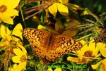 Variegated fritillary and tickseed sunflowers (DBU194)