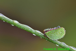 Two-striped planthopper (DIN56b)
