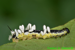 Parasitized catalpa sphinx moth caterpillar (DCP64)