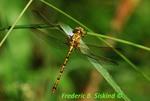 Eastern ringtail (DDF281)