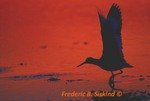 Willet, wings up, sunset, (DSH18)