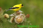 American Goldfinch on thistle (DSB22)