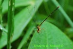 Damselfly in spider web (DDF321)