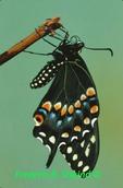 Black swallowtail drying wings (BU384)  CC