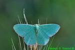 Red-bordered emerald moth (DBU206)