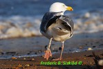 Herring gull with string wrapped around leg (DGT20)