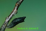 Black swallowtail chrysalis three and 1/2 hours before emerging (BU356) CC