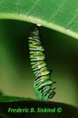 Monarch caterpillar pupating (MN128) CC