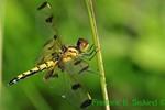 Calico pennant female, profile (DDF561)
