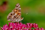 American painted lady on purple milkweed (DBU134)