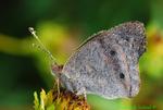 Buckeye butterfly, dew-covered (DBU166)