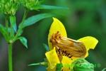 Goldenrod stowaway on tickseed sunflower (DBU353)