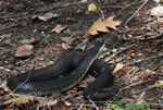 Eastern hognose snake, dark form (DSN41)