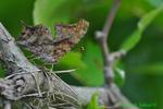 Questionmark butterfly (DBU483a)