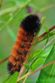 Banded woolly bear (DCP95)