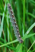 Forest tent caterpillar (DCP209)