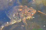 American toads mating under water (DFR119)