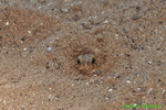 Fowler's toad hiding in sand (DFR167)