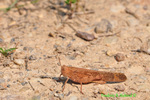Carolina locust (DIN526)