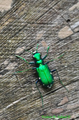 Six-spotted green tiger beetle (DIN541)