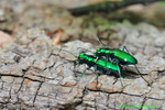 Six-spotted green tiger beetles mating (DIN542)