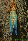 Newly emerged Dogday harvestfly cicada drying wings (IN214a)