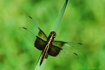 Widow skimmer, female (DDF329d)