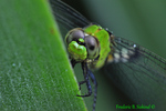 Female Eastern pondhawk face (DDF1040)