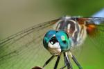 blue dasher face (DDF693)