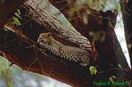 Leopard in tree (AM59)