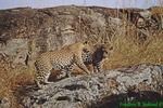 Pair of leopards (AM11)