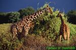 Two reticulated giraffes at Samburu (AM993)